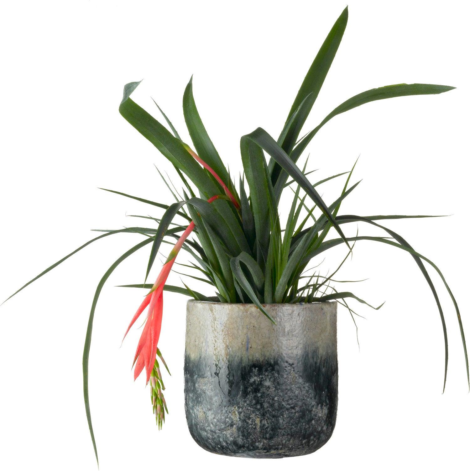 Bromelia (Billbergia x windii) D 15 H 45 cm