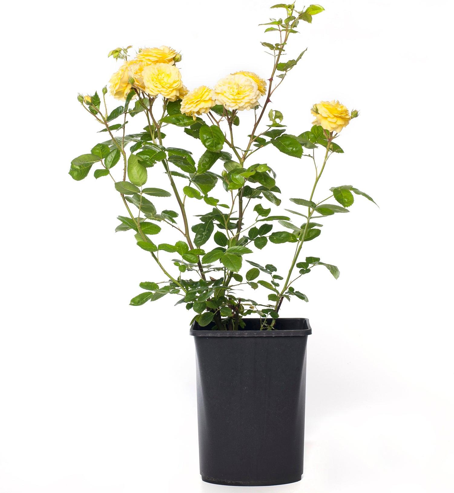 Struikroos (Rosa 'Yellow Meilove')