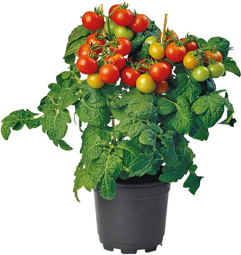 Biologische kerstomaat (Solanum lycopersicum) D 14 H 40 cm