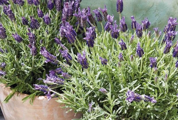 Lavendel snoeien en verzorgen