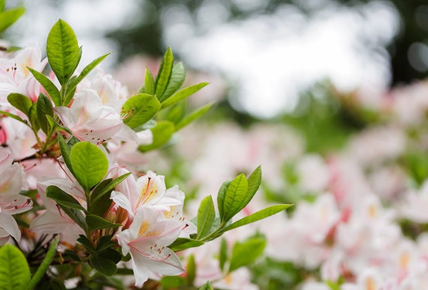 Rhododendron snoeien en verzorgen