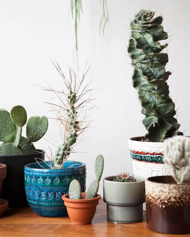 Diverse cactussen