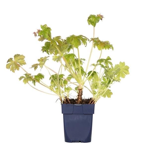 Ooievaarsbek (Geranium macrorrhizum)