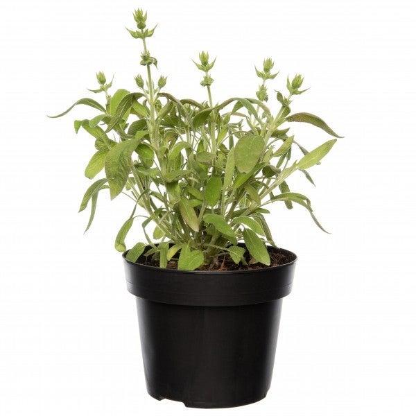 Salie (Salvia Officinalis 'Berggarten')