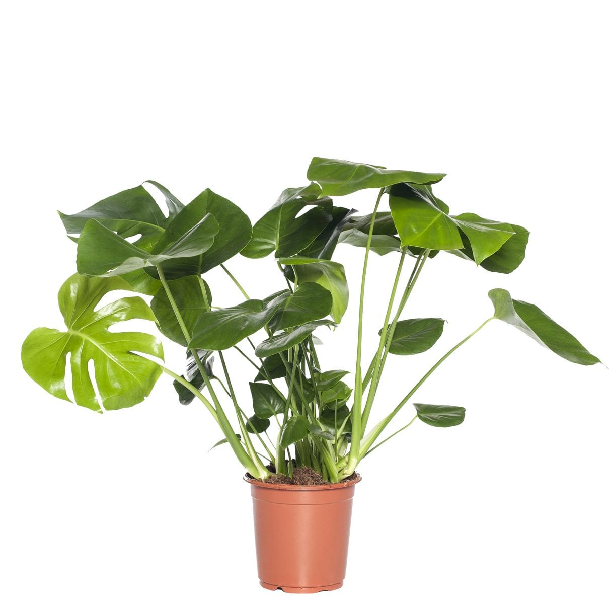 Gatenplant (Monstera 'Pertusum')