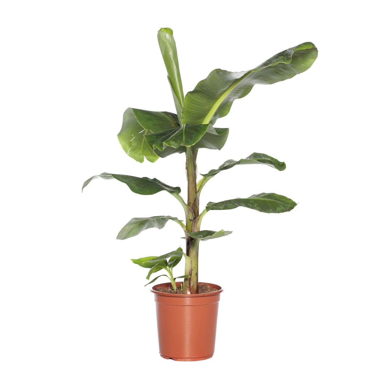 Bananenplant (Musa dwarf)