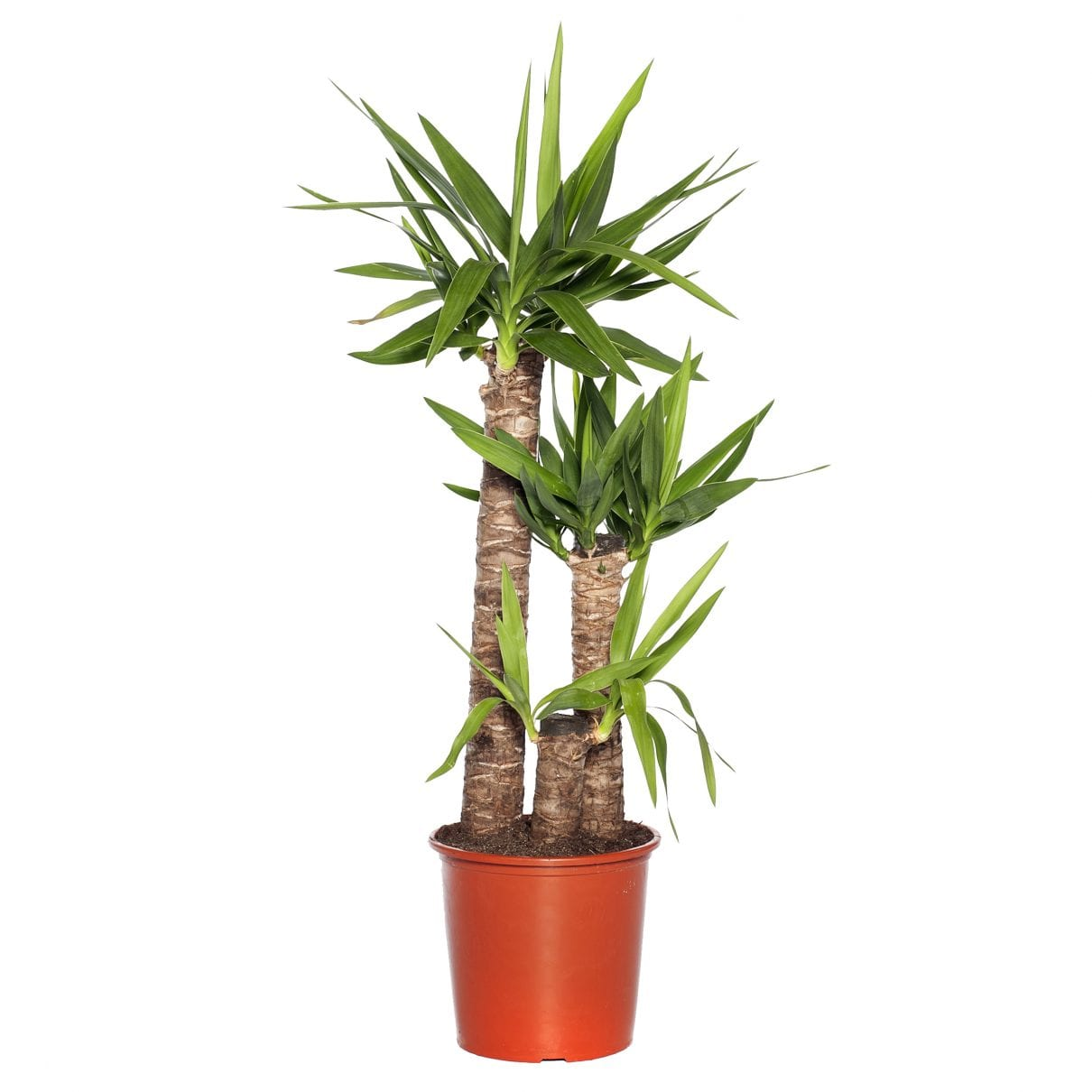 Palmlelie (Yucca elephantipes)