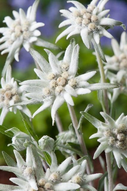 Siberische edelweiss (Anaphalis triplinervis)