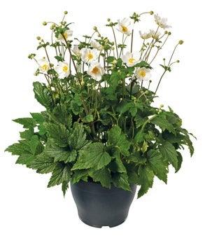 Herfstanemoon (Anemone hybrida 'Koningin Charlotte')