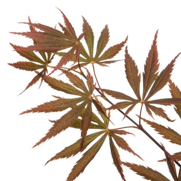 Japanse esdoorn (Acer palmatum 'Shania')
