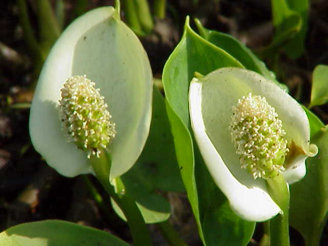 Slangenwortel (Calla palustris)