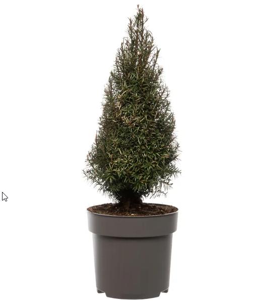 Taxus (Taxus baccata)